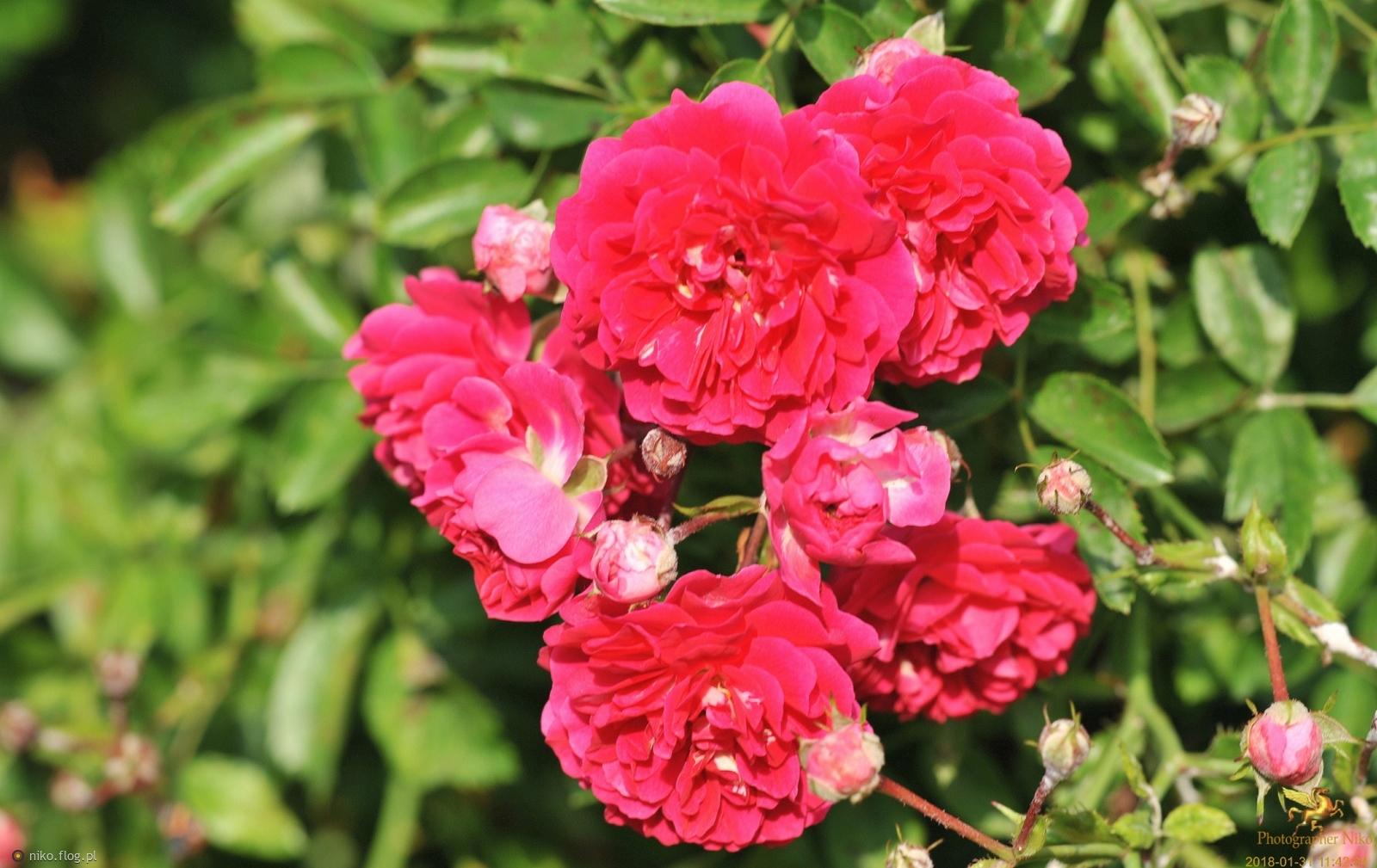 Czerwona Róża Zdjęcie Fotoblog Nikoflogpl