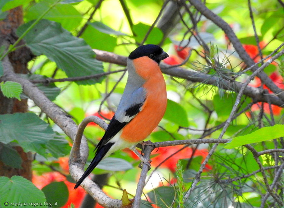 Koolorowy Ptak Gil W Podziękowaniu Za Wizyty Miłe Słowa