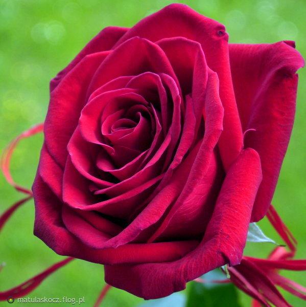 http://s25.flog.pl/media/foto_middle/12409842_zakochany-kwiat.jpg