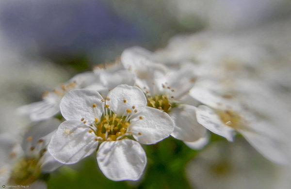 http://s25.flog.pl/media/foto_middle/12529126_pojedynczy-kwiat-z-kwiatostanu-krzewu-tawula.jpg