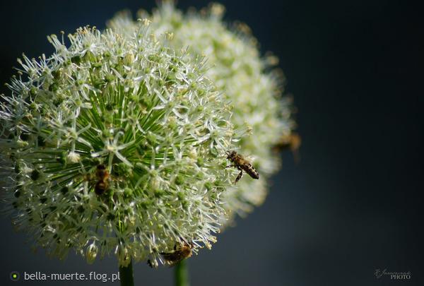 http://s25.flog.pl/media/foto_middle/12575001_bees.jpg